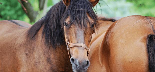 Huculské kone