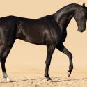Achaltekinský kôň
