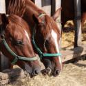 Kone sa kŕmia senom v stajni